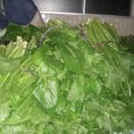栂池の野沢菜
