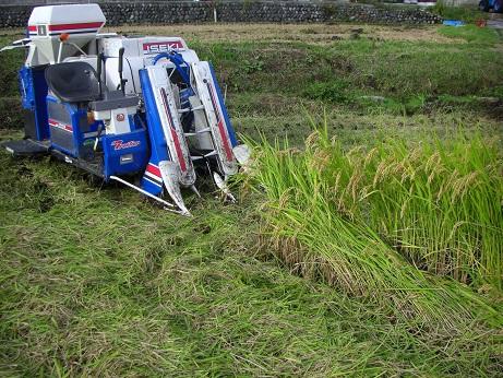 栂池で稲刈り