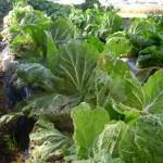 栂池の白菜
