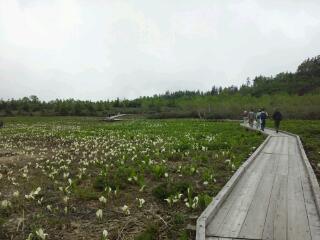 水芭蕉湿原